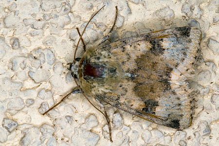 Heliothis viriplaca, Lodz(Poland)03(js).jpg