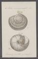 Helix monozonalis - - Print - Iconographia Zoologica - Special Collections University of Amsterdam - UBAINV0274 089 01 0006.tif