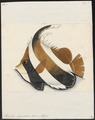 Heniochus chrysostoma - 1700-1880 - Print - Iconographia Zoologica - Special Collections University of Amsterdam - UBA01 IZ13100207.tif