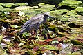 Heron at lake.JPG
