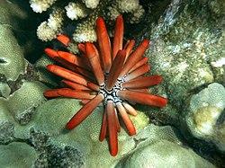 Erizos de mar reproduccion asexual en