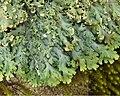 Heterodermia casarettiana (4503076910).jpg