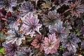 Heuchera 'Frosted Violet Dream' at RHS Garden Hyde Hall, Essex, England.jpg