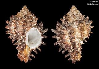<i>Hexaplex angularis</i> Species of gastropod