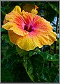 Hibiscus Red-Yellow-2+ (2557756772).jpg
