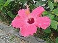 Hibiscus on way to Moon Beach.jpg