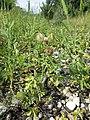 Hibiscus trionum sl83.jpg
