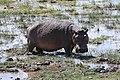 Hippopotamus amphibius 03.jpg