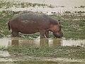 Hippopotamus amphibius in Tanzania 4034 Nevit.jpg