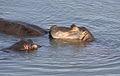 Hippopotamus study (sequence) at Kruger National Park (12155931075).jpg