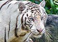 His Eyes White Tiger (105926911).jpeg