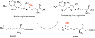 Methyltransferase - General scheme of the reaction catalyzed by a lysine histone methyltransferase