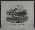 History of the birds of NZ 1st ed p180-2.jpg