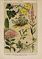 Hoffmann-Dennert botanischer Bilderatlas (Taf. 54) (6425009343).jpg