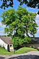 Hollabrunn - Oberstinkenbrunn - ND HL-008 - Winterlinde - 2.jpg