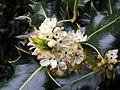 Holly (Ilex aquifolium), Heartwood Forest (28282813091).jpg