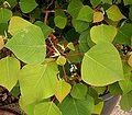 Homalanthus populifolius 01 ies.jpg