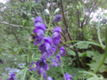 Honey bee collecting nectar from toxic monkshood.png