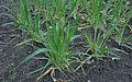 Hordeum vulgare six-row winter barley, zesrijige wintergerst (5).jpg