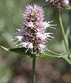 Horsemint Agastache urticifolia flowerhead close.jpg