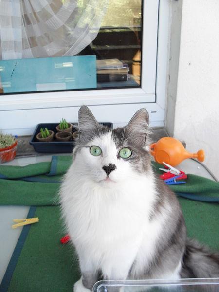 File:Hot Spot eine Türkisch Angora Katze.jpg