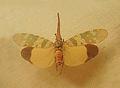 Hotinus candelarius-Musée zoologique de Strasbourg.jpg