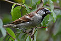 House Sparrow on natural perch (10612354014).jpg
