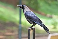 House crow Bangalore India.jpg