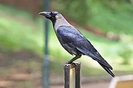 House crow Bangalore India
