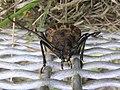Huhu beetle 01.jpg