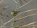Hume's Warbler (Phylloscopus humei) (29669799170).jpg