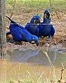 Hyacinth Macaws (Anodorhynchus hyacinthinus) drinking ... (31381075602).jpg