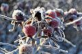 Hyben med frost.jpg