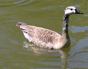 Bird hybrid - A hybrid between a Canada goose (Branta canadensis) and a domestic goose (Anser anser domesticus). This example is considered an intergeneric hybrid - While both the hybrid's parents belong to the same subfamily, Anserinae, they are from different genera.
