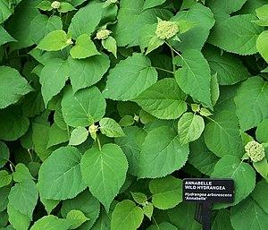 Hydrangea arborescens Wild Hydrangea, variatio...