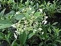 Hydrangea heteromalla Snowcap - Flickr - peganum (3).jpg