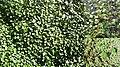 Hydrocotyle ranunculoides poster Uruguay.jpg