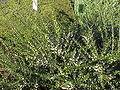 Hymenanthera crassifolia2.jpg