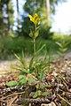 Hypericum humifusum sl9 (cropped).jpg