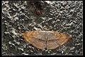 Hypopyra sp. (20542930056).jpg
