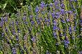Hyssopus officinalis subsp. aristatus.jpg