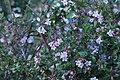 IMG 2597 Abelia × grandiflora.jpg