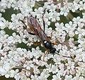 Ichneumonine Wasp. Probably Exephanes ischioxanthus - Flickr - gailhampshire (2).jpg