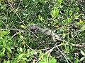 Iguana - panoramio (4).jpg