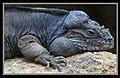 Iguana at Australia Zoo-1 (9099117836).jpg