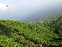 A tea estate in Ilam