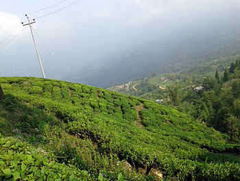 A view of Tea Estate in Ilam