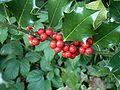 Ilex aquifolium 29 ies.jpg