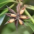 Illicium anisatum (fruits s11).jpg