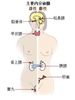 Illu endocrine system New zh.png
